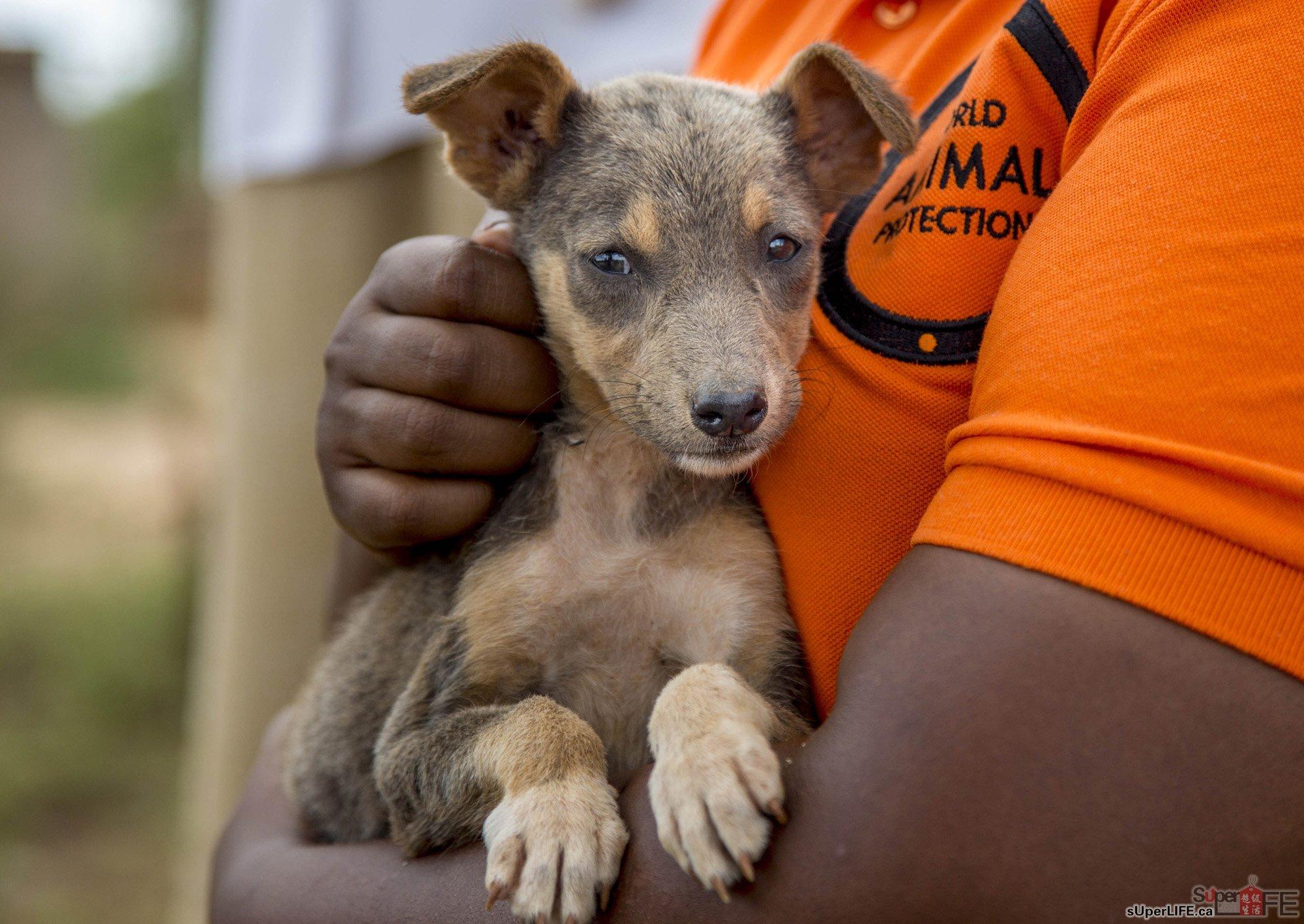 现今全球狗只达7亿,其中许多是被遗弃、不健康和没有接受疫苗接种。人们对被咬和狂犬病的恐惧,意味著每年有数以百万计的狗只被杀。 世界动物保护协会一直倡导停止杀害狗只。这个环球慈善组织与各地政府合作,在肯亚、桑吉巴、中国、印尼、菲律宾和孟加拉国为当地狗只进行了100万次疫苗接种。在中国,自2013年迄今已进行逾26万次狂犬病疫苗接种。