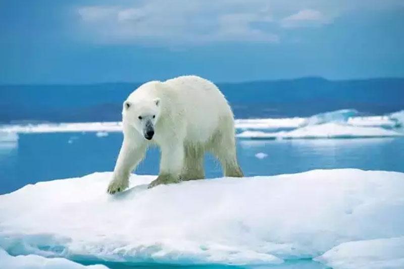 1、努纳武特(Nanuvut)北极熊 努纳武特,这里拥有世界上50%的北极熊。在这里你可以选择徒步穿越巴芬岛北端的舍密里特国家公园(Sirmilik National Park ),在瞭望台观赏北极熊,或是选择登上北极探险船,开始为期两周的西北通道(northwest passage)巡航,沿途搜寻北极熊在浮冰上的身影。 最佳观赏季节:每年5月-11月 小编提醒:别看北极熊笨笨的很蠢萌,它们可是陆地上最大的食肉动物,具有一定的攻击力,观赏时请注意安全哦。