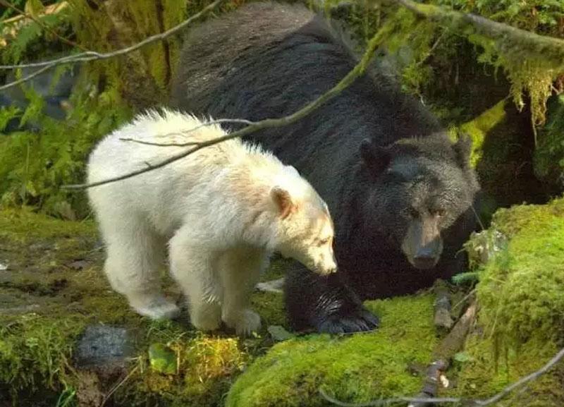 9、卑诗省(British Colurmbia)白色黑熊 说起观熊,加拿大的BC省必定是全球最佳观熊地之一,被称为是熊的王国。最值得一提的是,这里的皇家公主岛(Princess Royal Island)栖息着十分罕见的白色黑熊–灵熊,据说全世界仅在此地才能见到。 最佳观赏时间:每年5月-10月 小编提醒:如果你选择住在附近的大熊旅馆(Great Bear Lodge),记得一定要提前预定,因为他们接待游客限制在10人以内。
